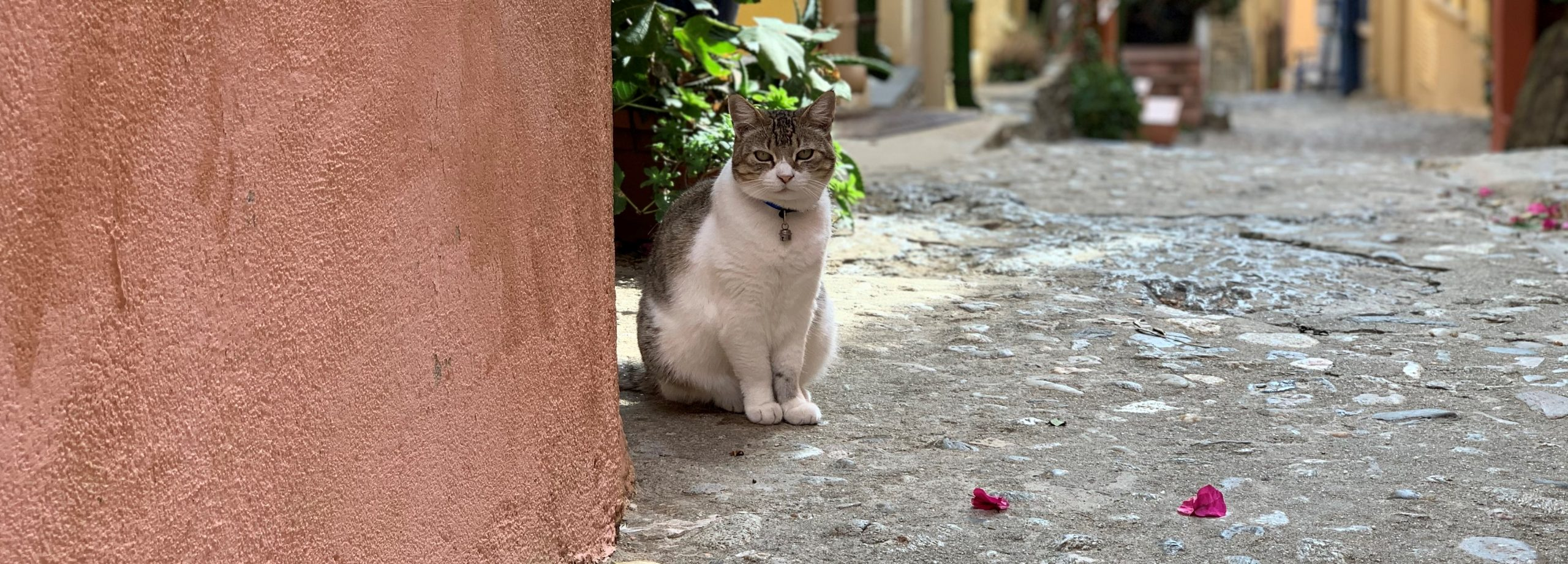 chat qui prend la pose à Collioure