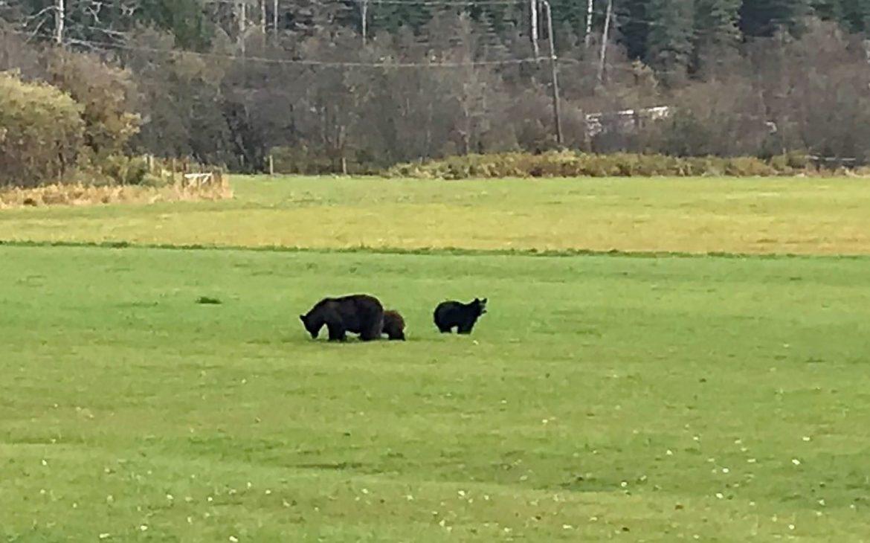 rencontrer les ours au canada