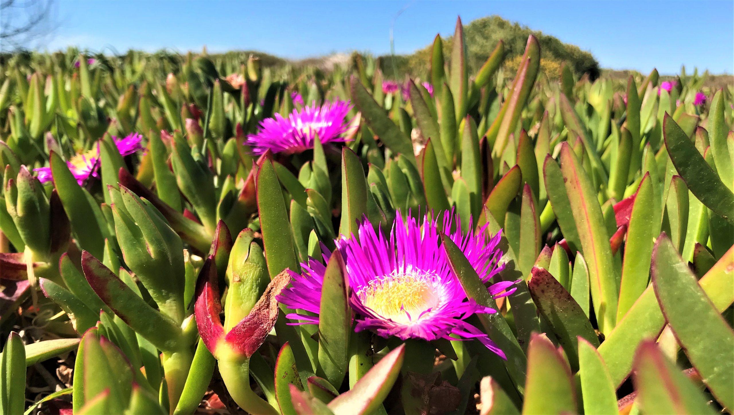 flore du cap coudalere