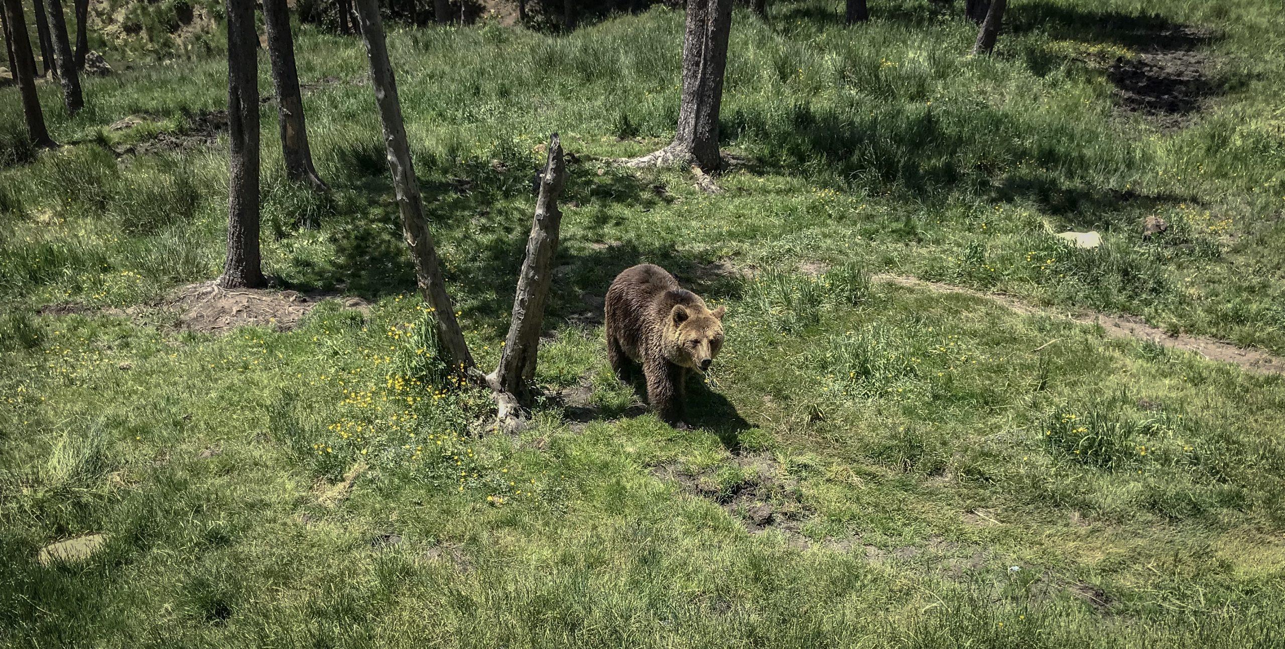ours des pyrénées parc animalier des angles