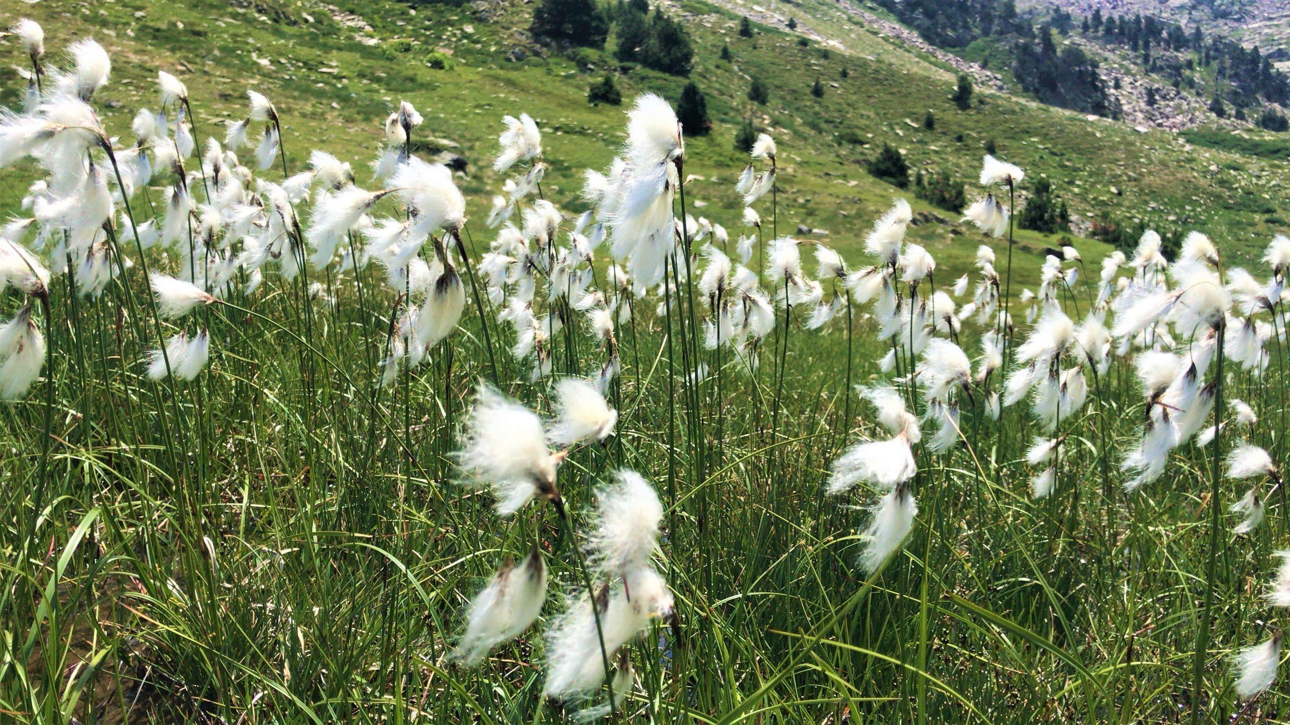 flore canigou été