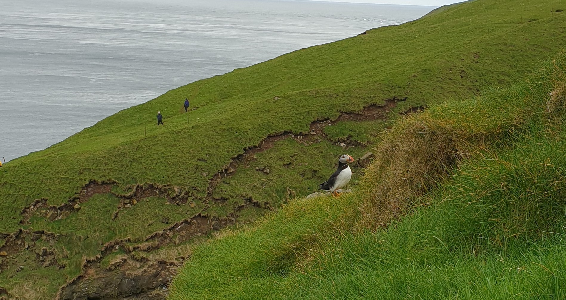 puffins faroe island
