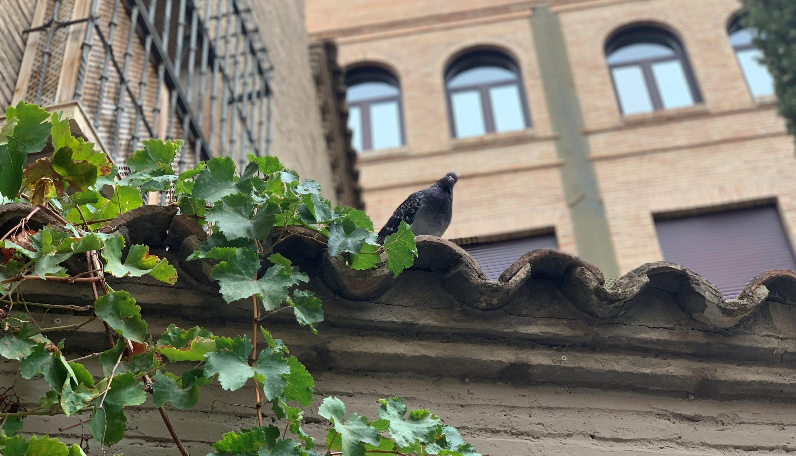 pigeon curieux de Saragosse