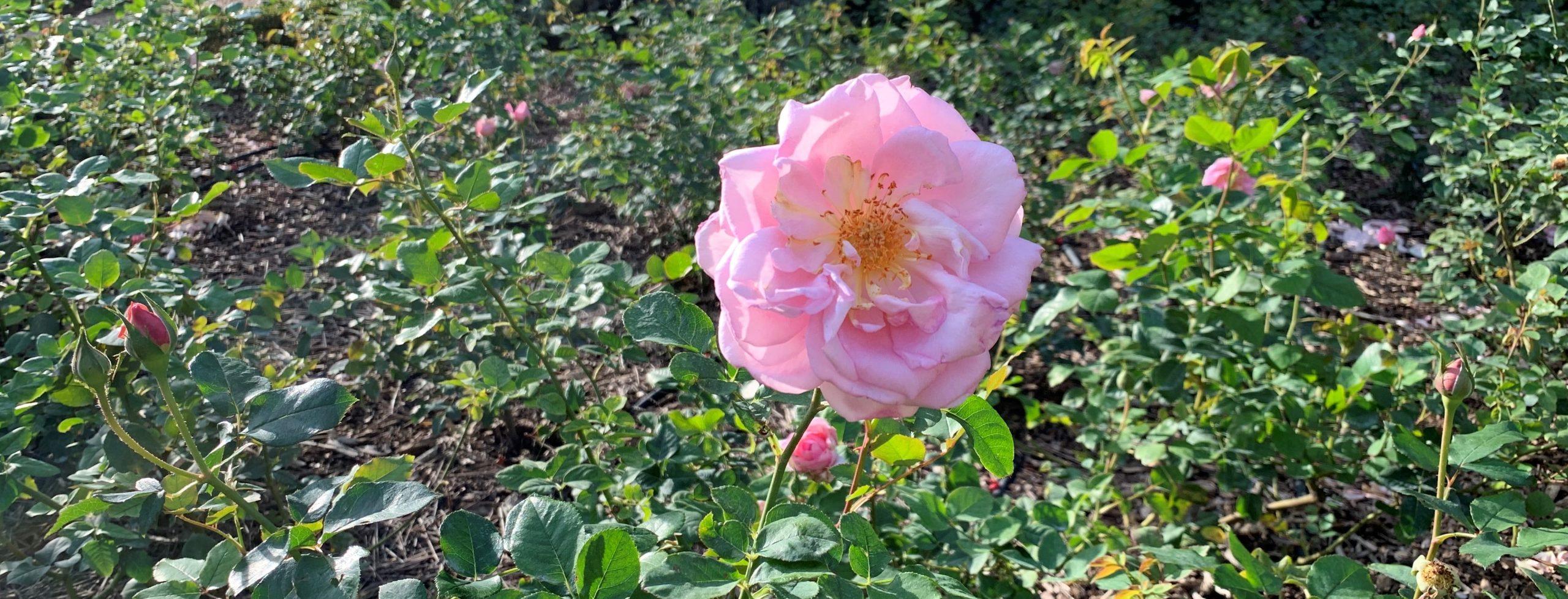 rose de fontfroide