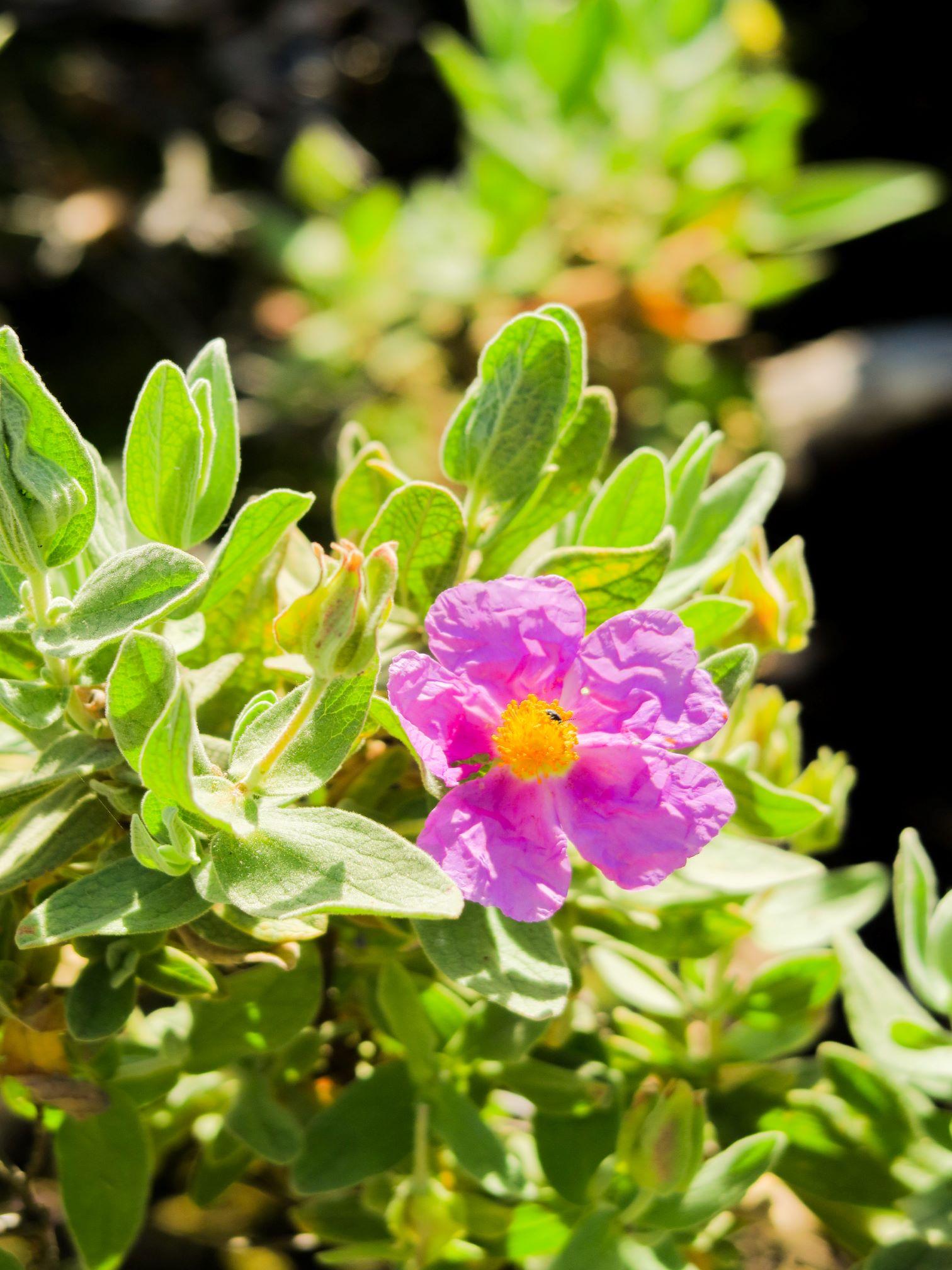 flore du vallespir pic de garces