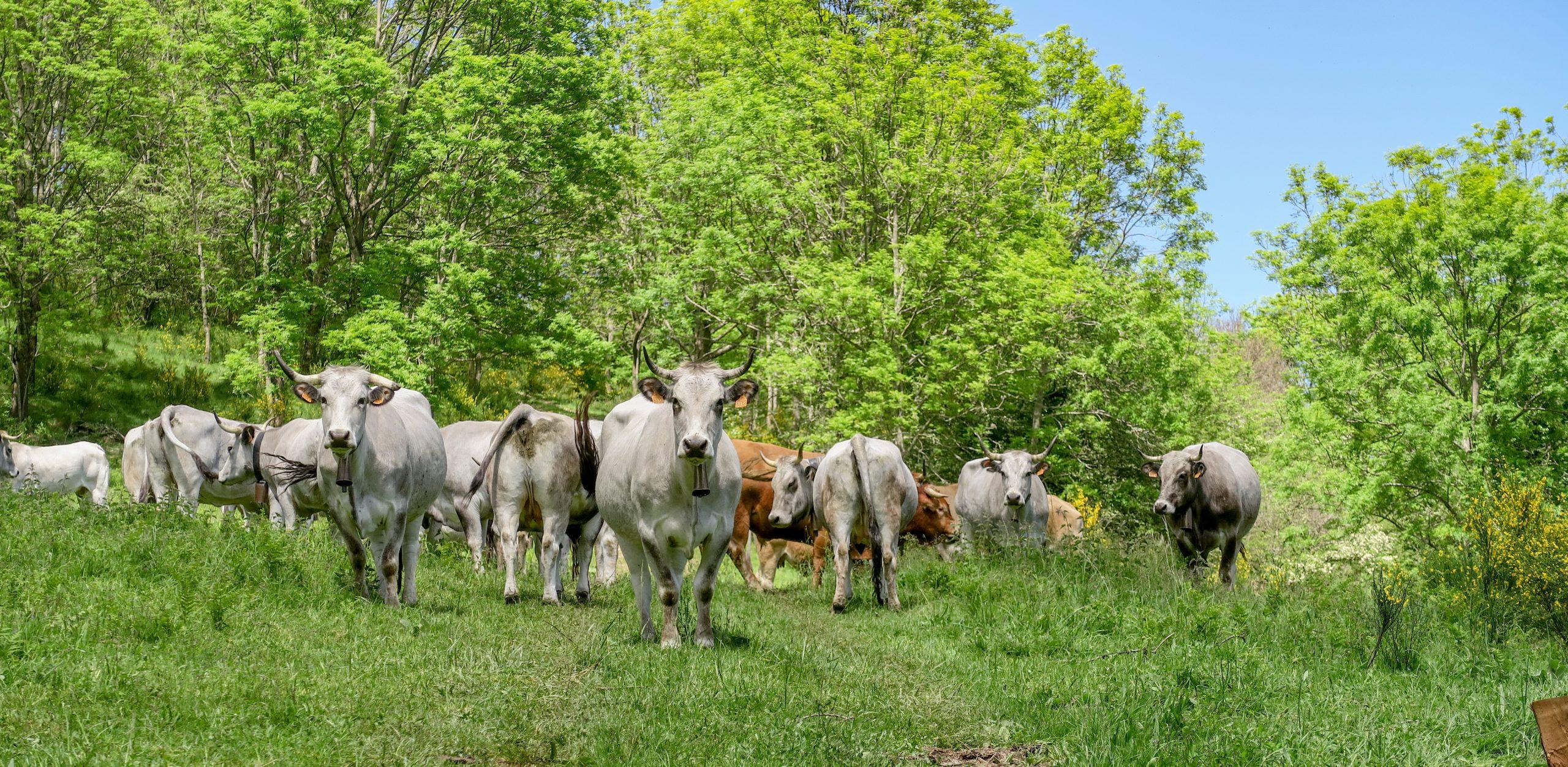 troupeau de vaches sur le sentier de la tour del mir