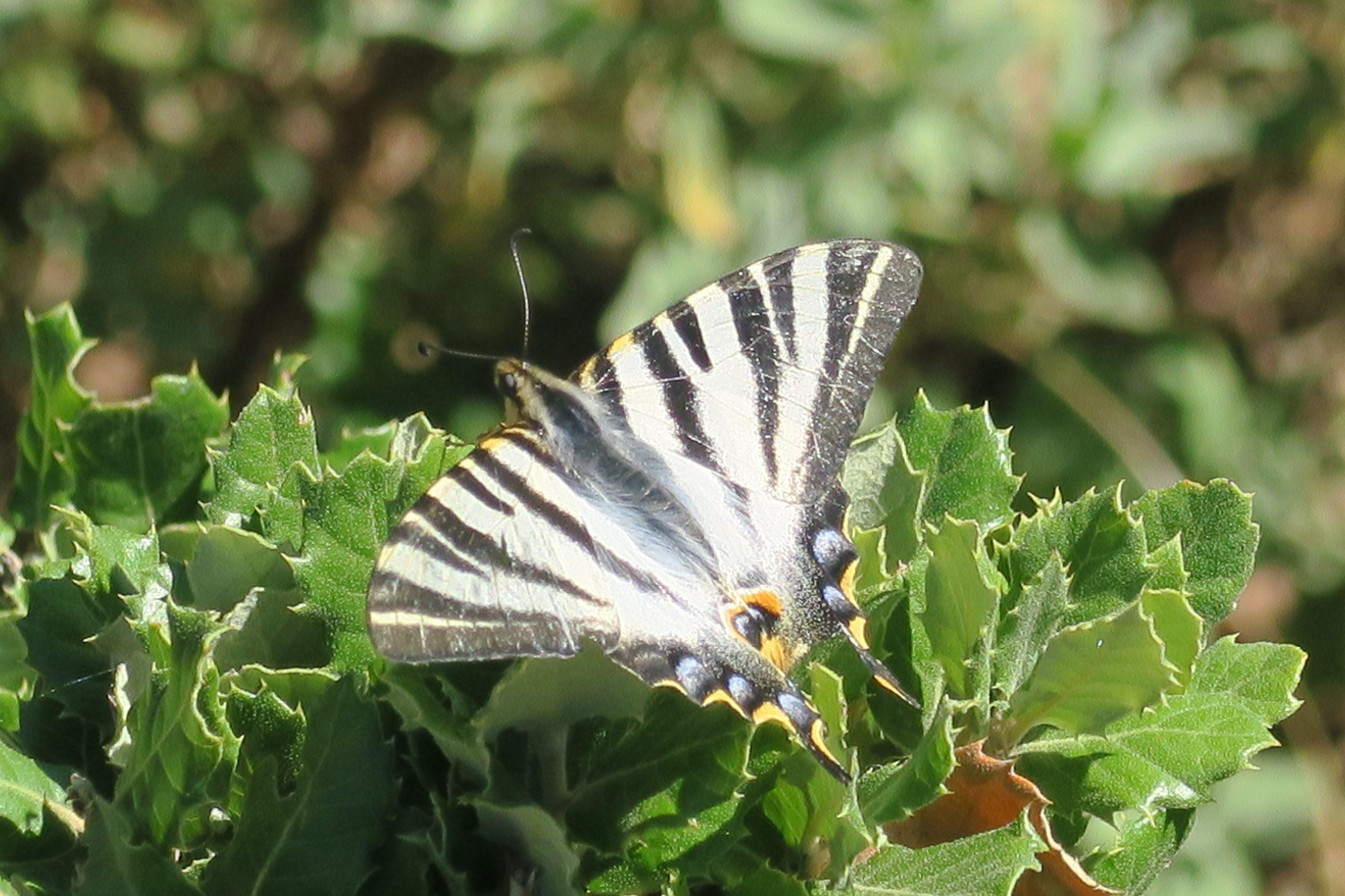 papillon aspres