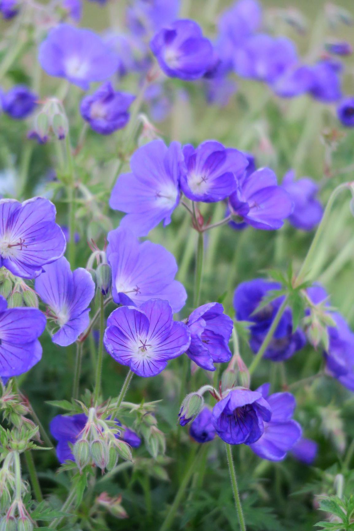 fleurs de lin, petites fleurs bleues