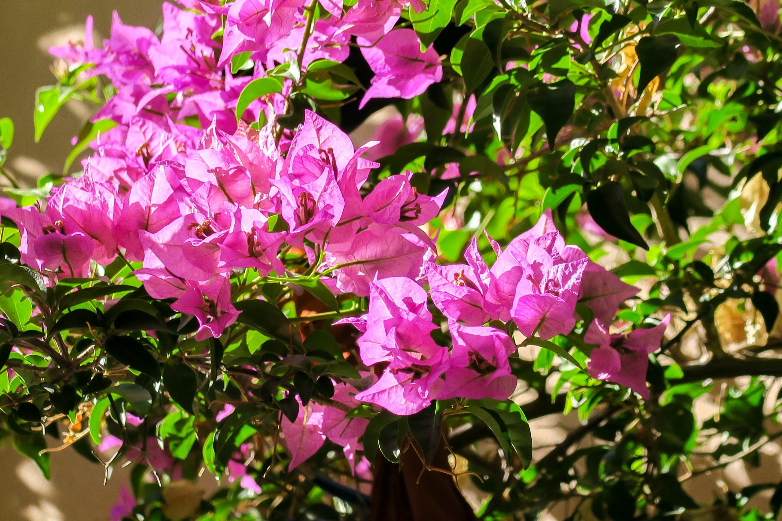 bougainvilliers collioure