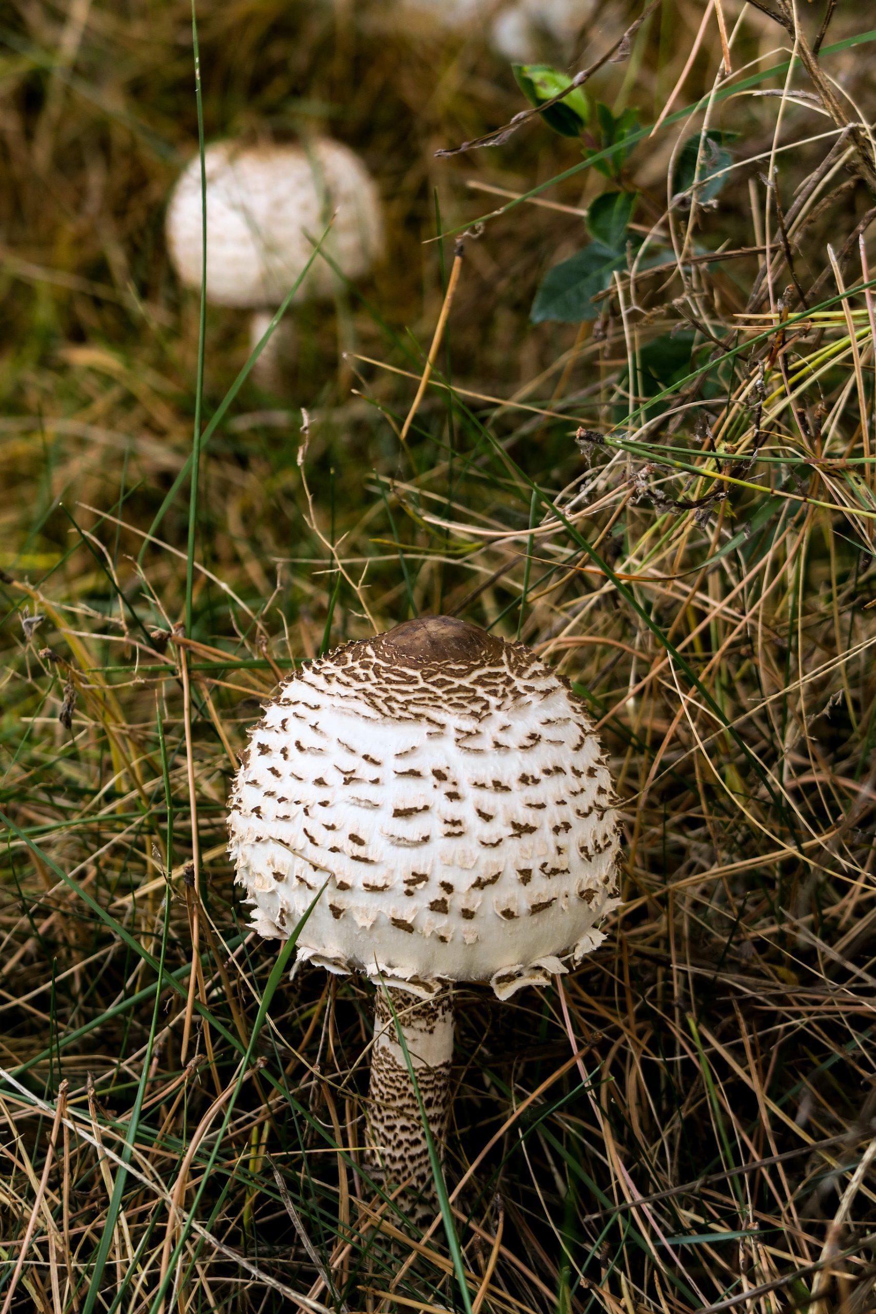 champignons Conflent les ambullas