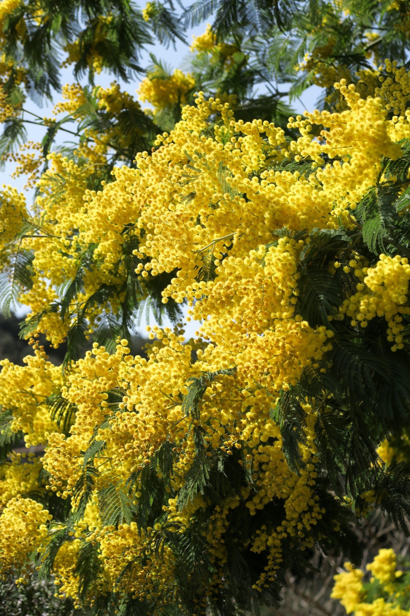 mimosa pyrénées orientales 66