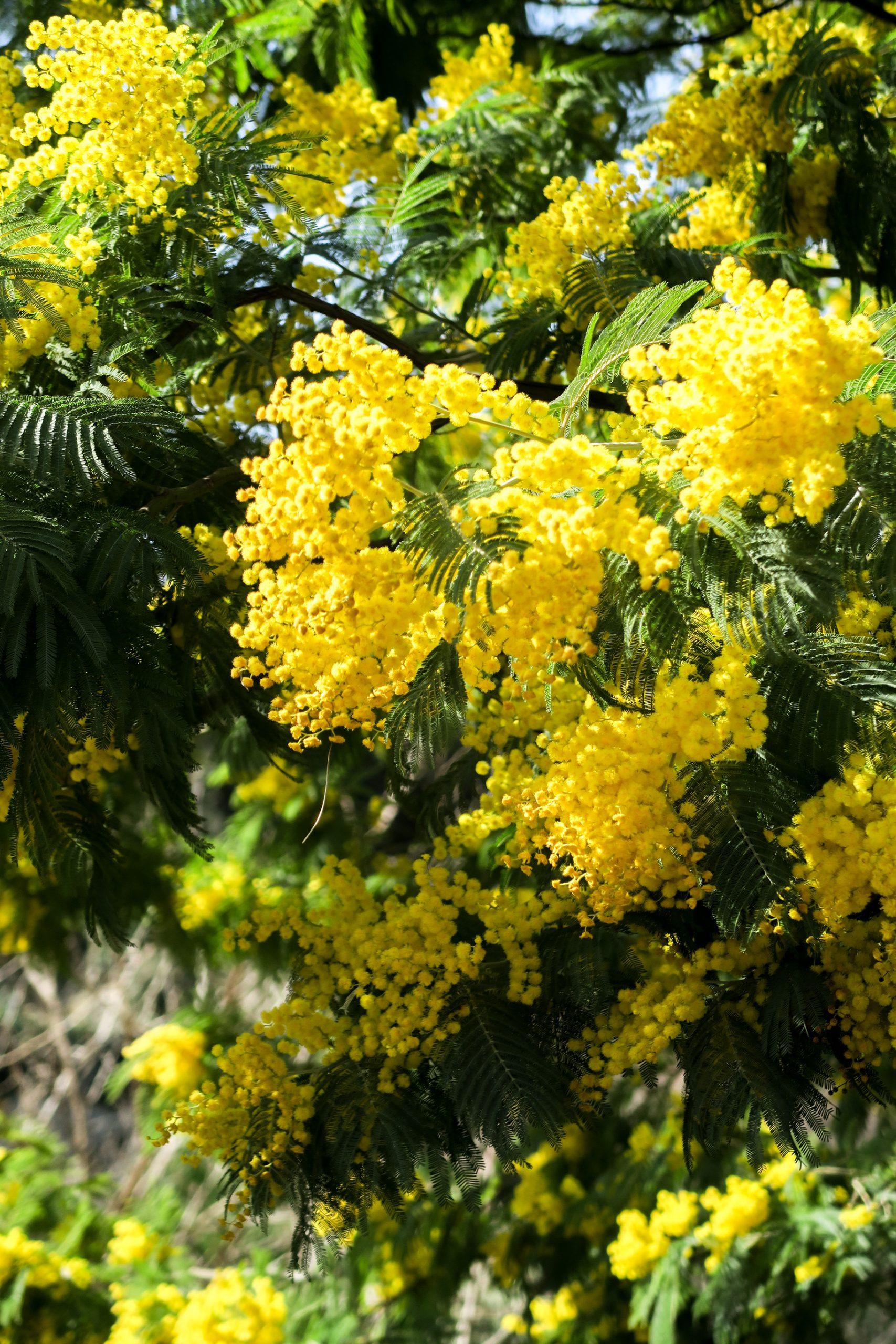 mimosa pyrénées orientales