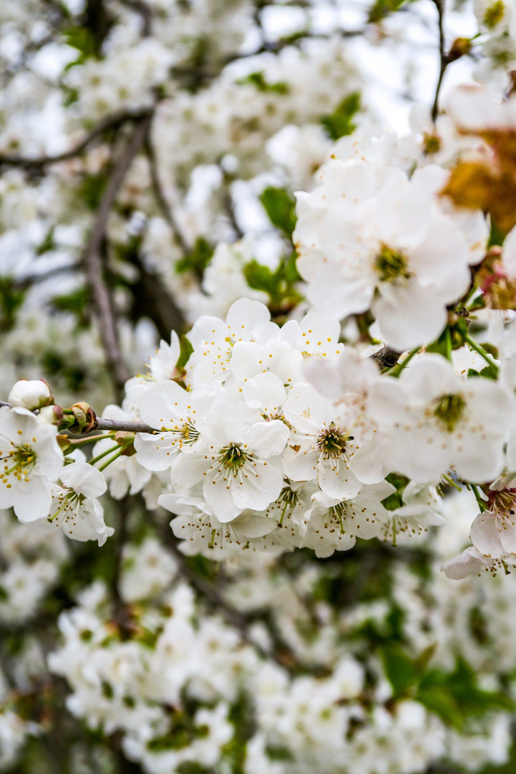 cerisiers en fleurs finestret